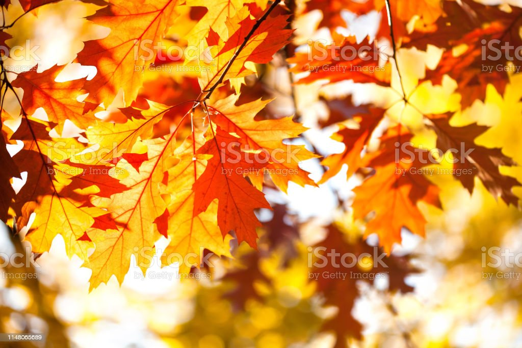 Autumn Background With Red Oak Tree Foliage Branch Bright Fall Leaves Closeup Beautiful Colorful Autumn Nature Forest Landscape Stock Photo Download Image Now Istock