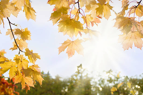 Autumn background with yellow maple leafs and sunlight stock photo