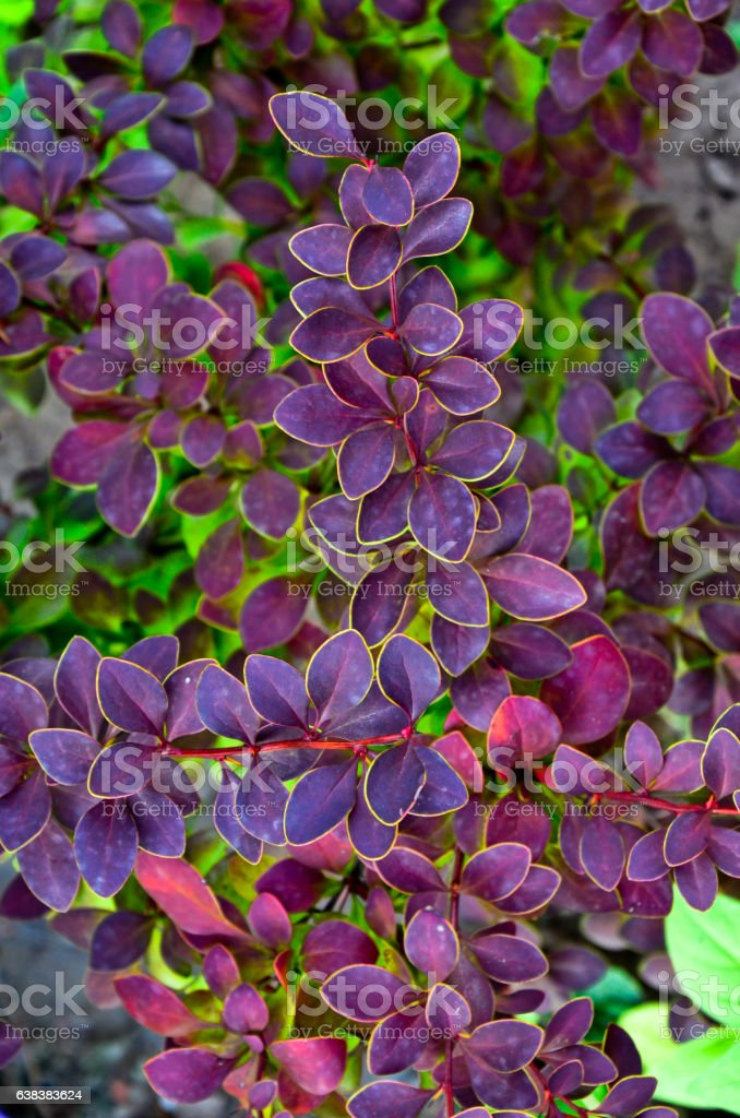 Autumn barberry of Tunberg Berberis thunbergii, branch with red leaves stock photo