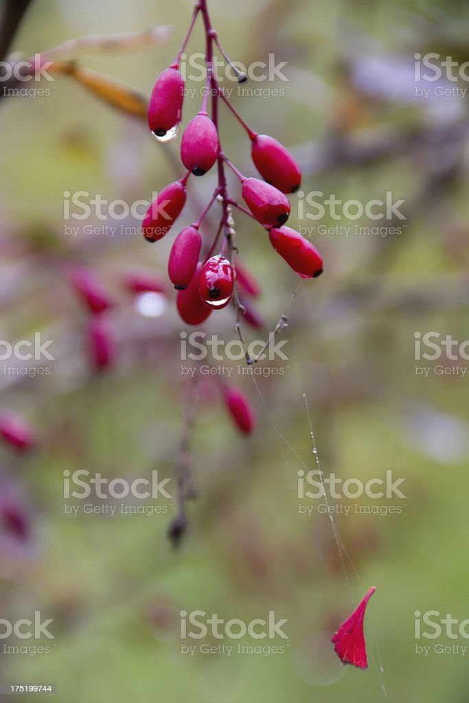 Autumn barberry royalty-free stock photo