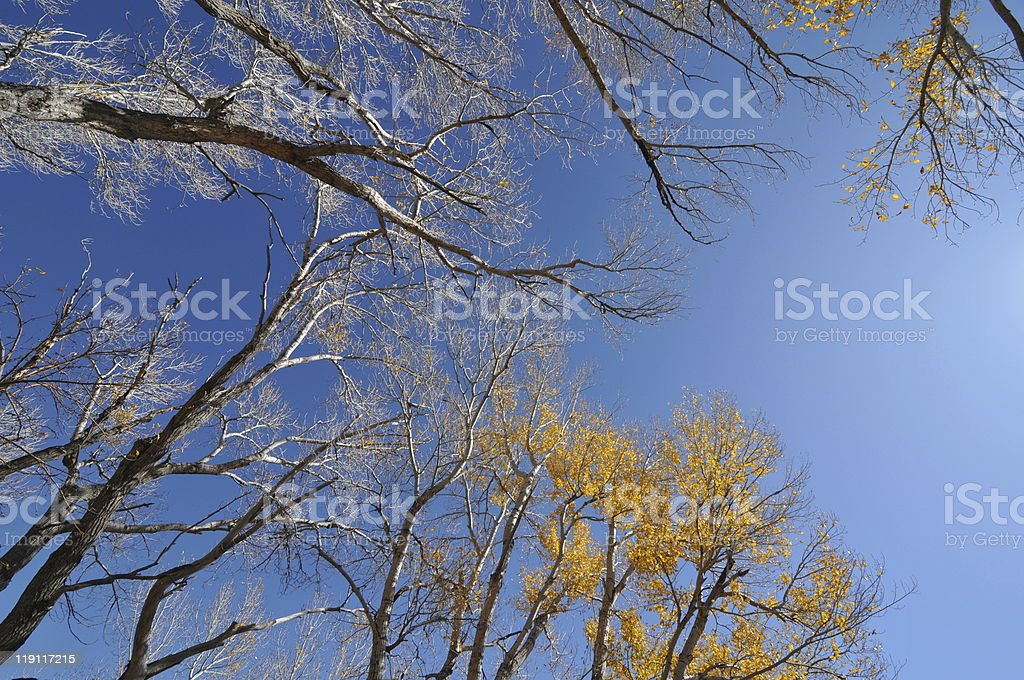 Autumn -- Bare Trees and Blue Sky stock photo