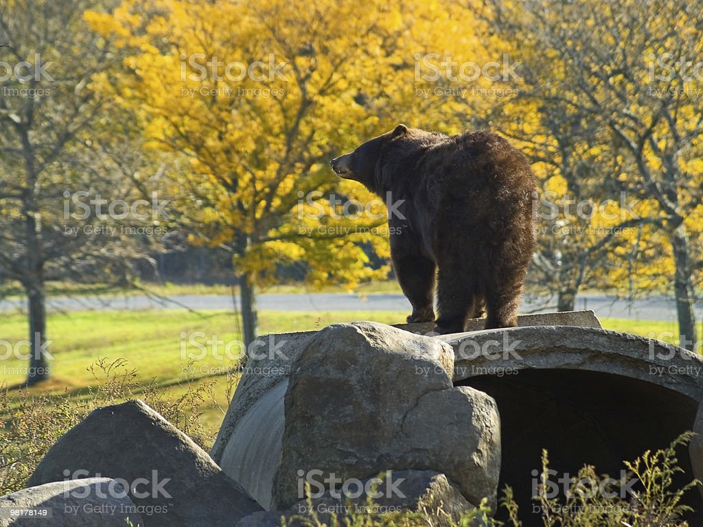 Autumn Bear royalty-free stock photo