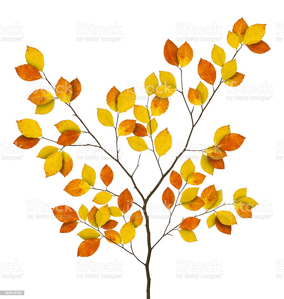 Autumn Beech Branch royalty-free stock photo
