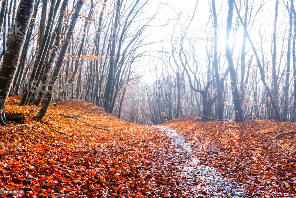autumn beech forest in a sunlight stock photo