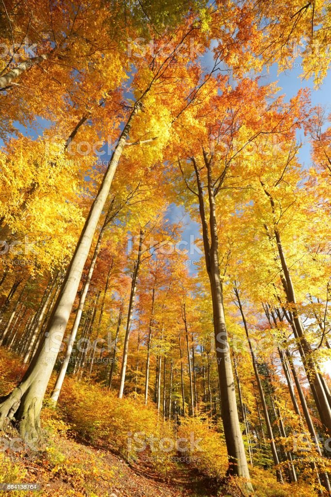 Autumn beech forest royalty-free stock photo