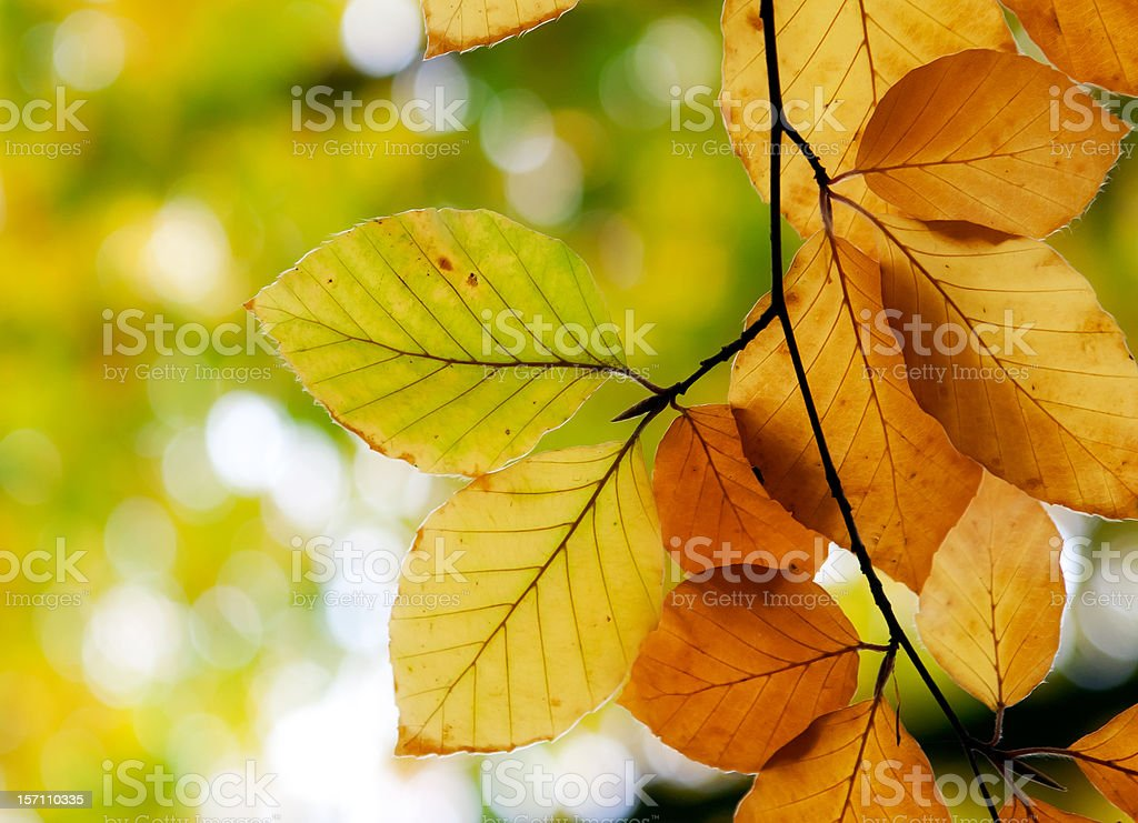 Autumn beech leaves in the forest royalty-free stock photo