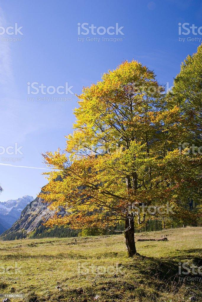 Autumn beech tree stock photo