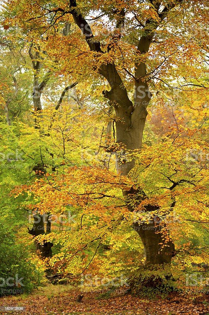 Autumn Beech Tree royalty-free stock photo