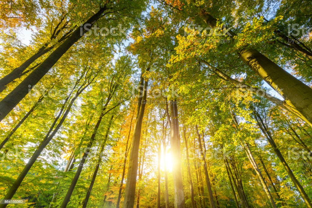 Autumn beech trees crowns royalty-free stock photo