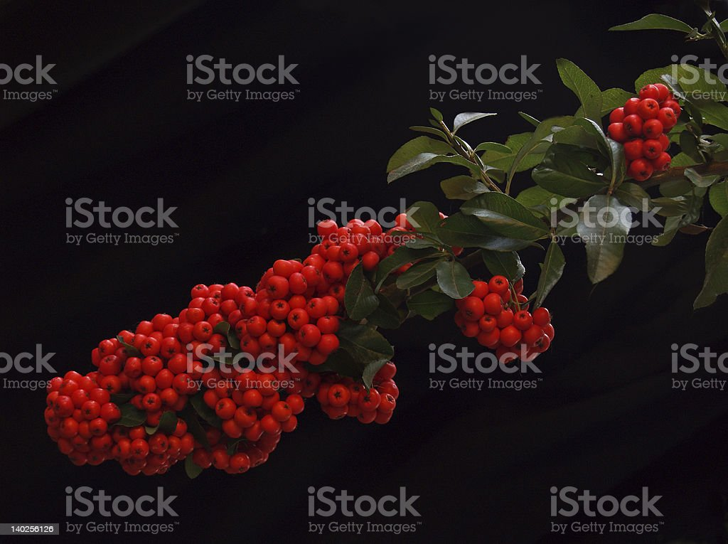 Autumn Berries - Exuberant Red Firethorn or Pyracantha Bush stock photo