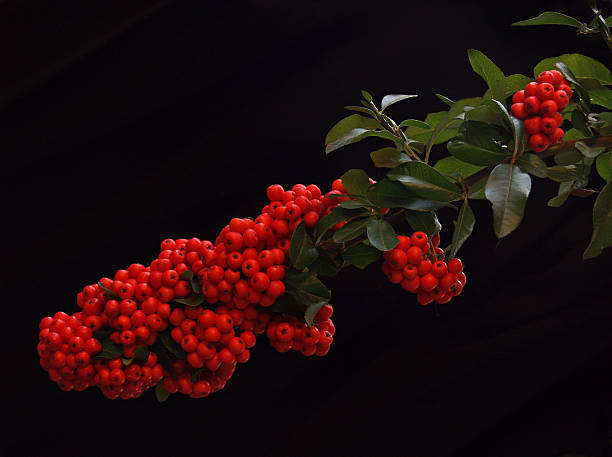 Autumn Berries - Exuberant Red Firethorn or Pyracantha Bush stock photo