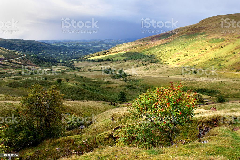 Autumn Berries Growing on a Bush in the Brecon Beacons stock photo