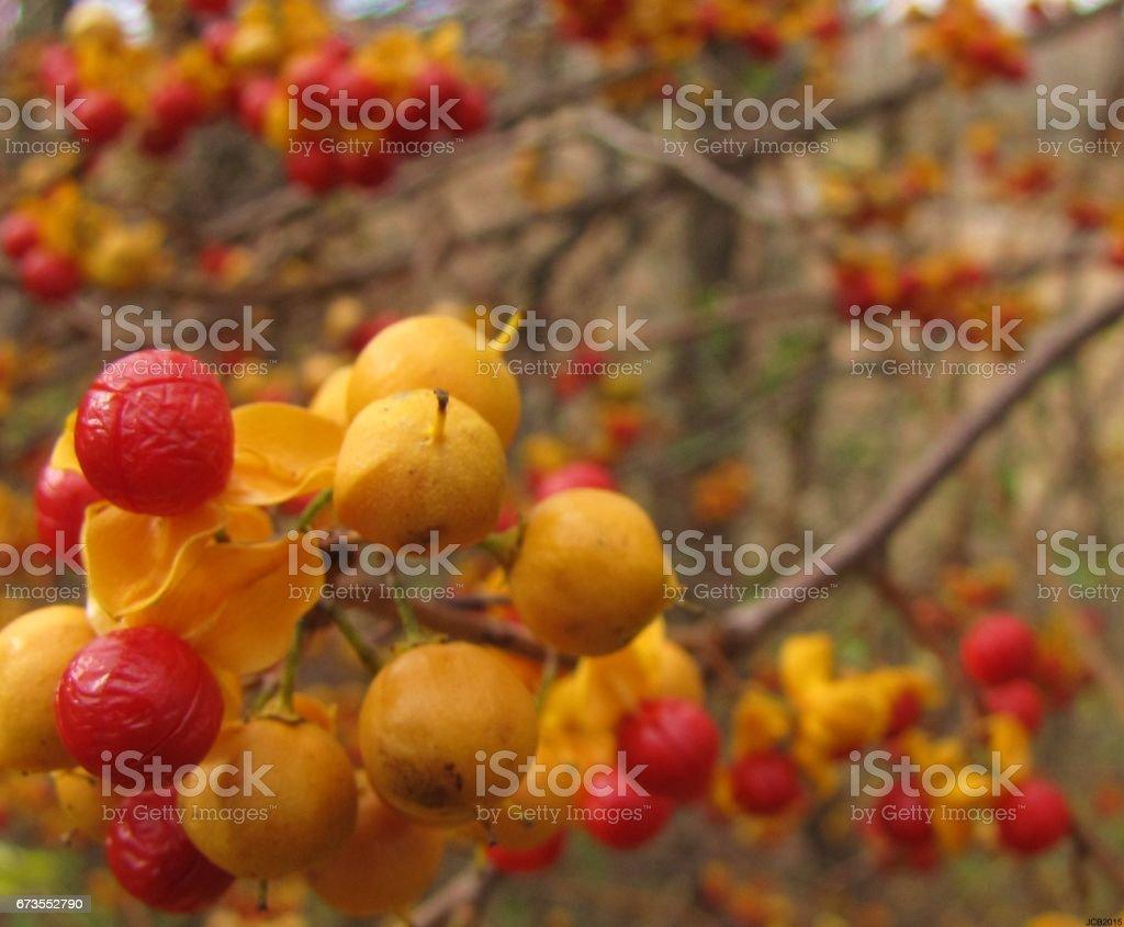 Autumn Berries royalty-free stock photo
