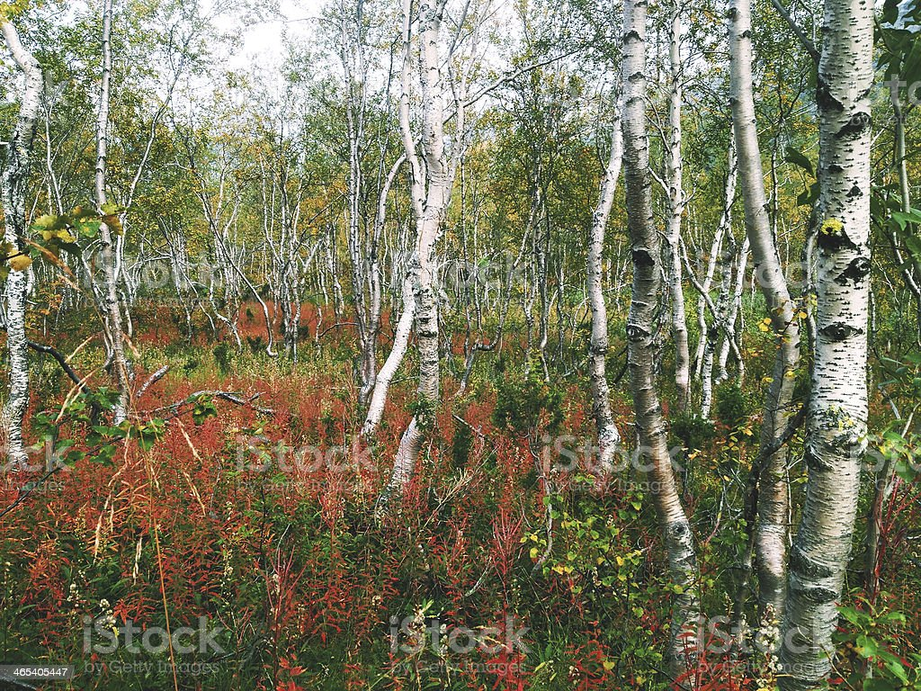 Autumn birch forest in Khibiny mountains, Russia stock photo