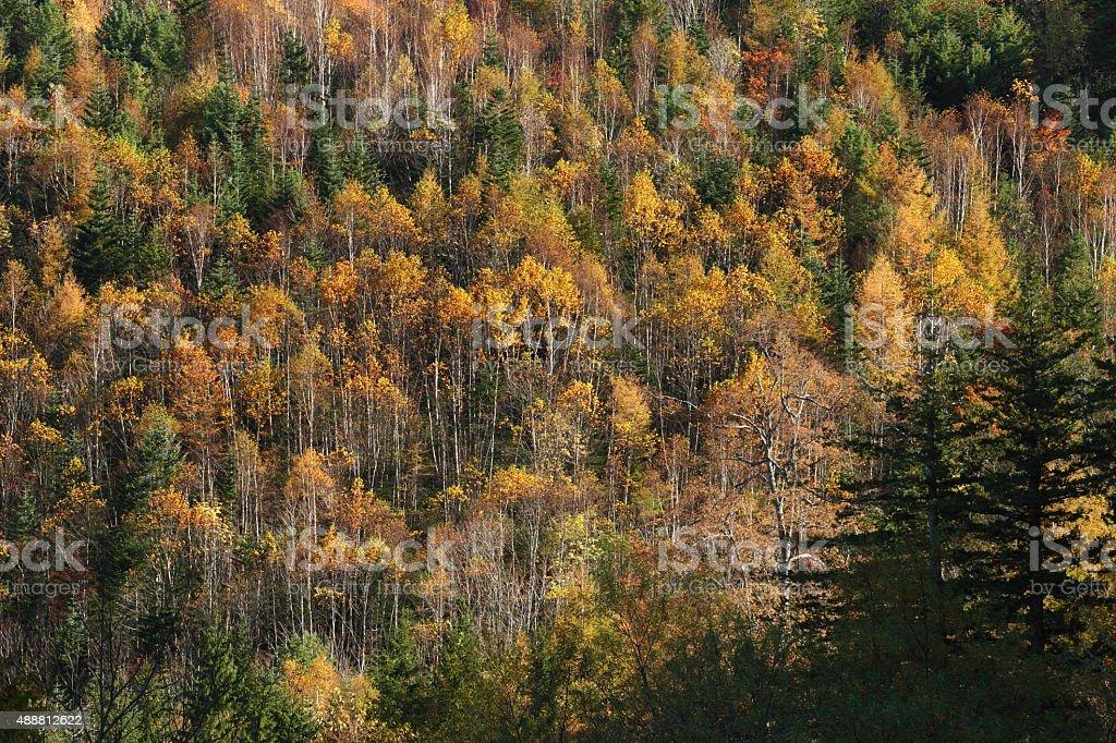 Autumn 樺の森 ロイヤリティフリーストックフォト