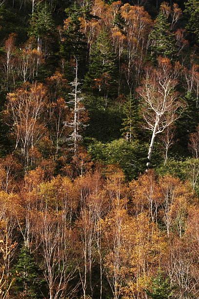 Autumn 樺の森 ストックフォト
