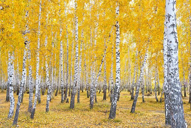 autumn birch forest stock photo