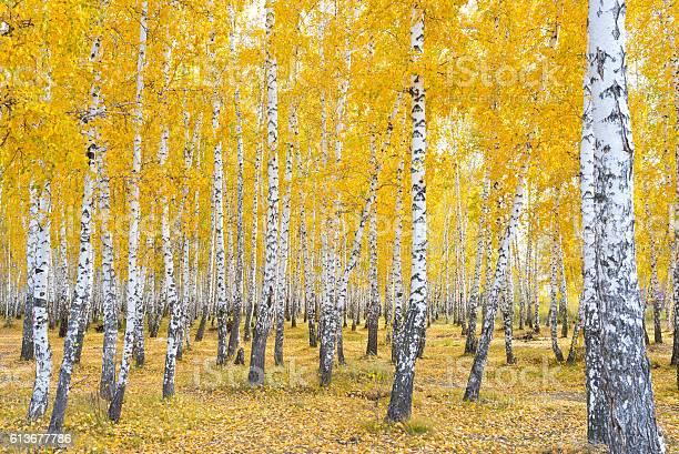 Photo of autumn birch forest