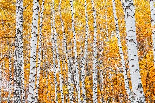 istock autumn birch forest 836135346