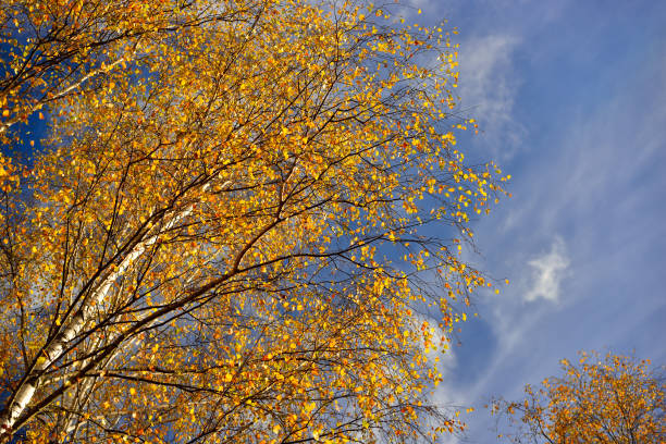 Cтоковое фото Autumn birch