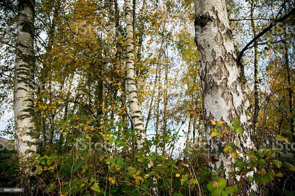 Autumn birch trees royalty-free stock photo