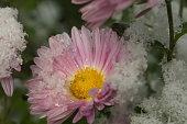 autumn blooming purple chrysanthemum flowers covered with snow. frozen flowers covered with frost. autumn garden