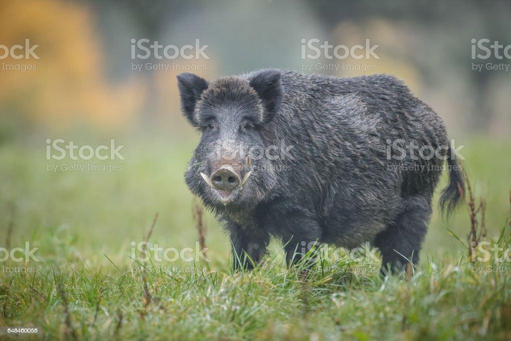 Autumn boar stock photo