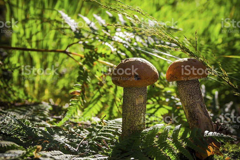 autumn boletus mushroom fungus forest grass sun light royalty-free stock photo