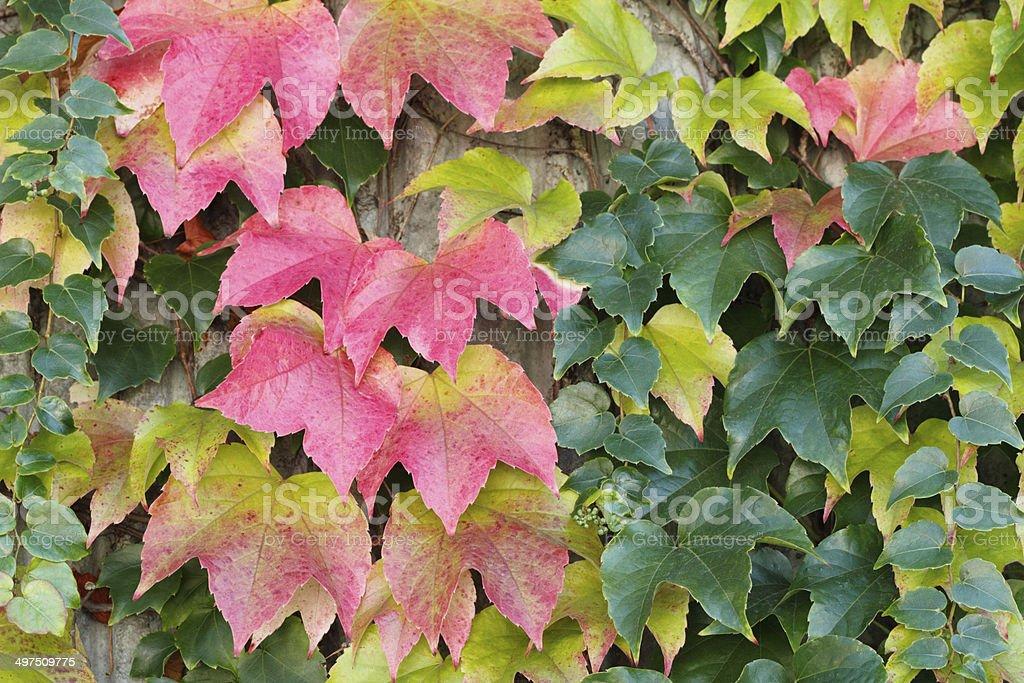 Autumn Boston Ivy Background stock photo
