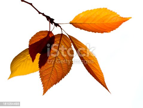 Autumn Birch Tree branch and leaves.