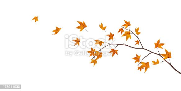 Maple leaves falling from the tree.