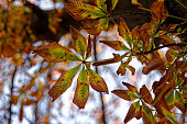 Autumn brown coloured tree leaves, fall photo of a tree leaves