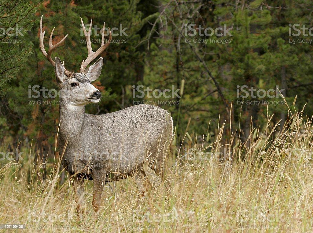 Autumn Buck stock photo