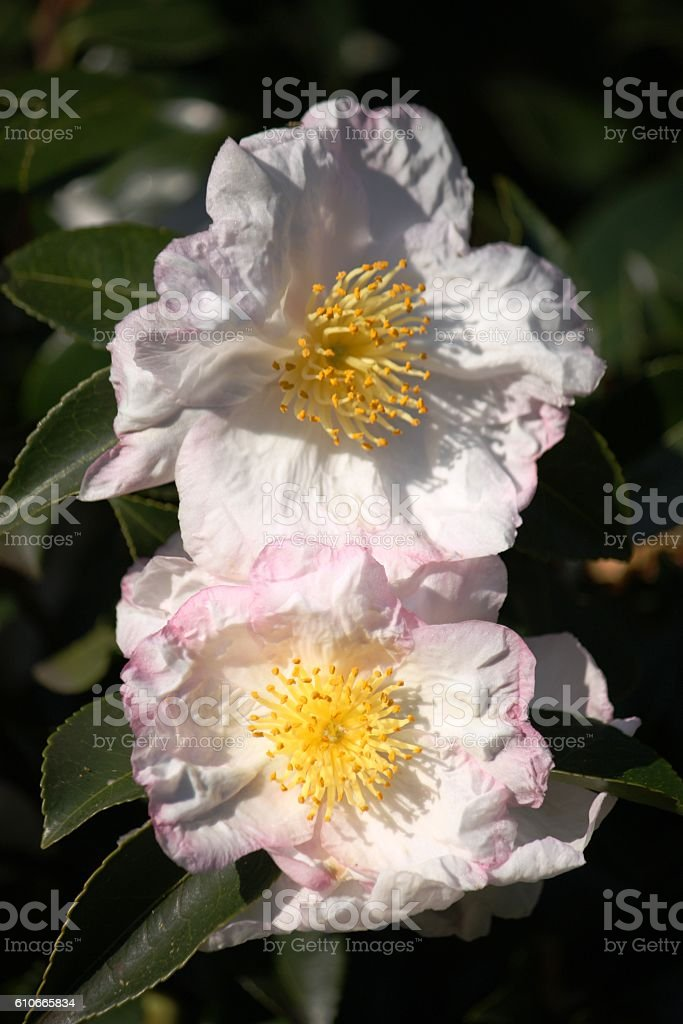 Autumn camellia blooms in October, Italy stock photo