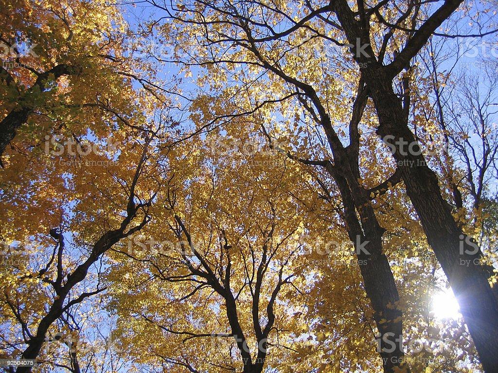 Autumn Canopy royalty-free stock photo