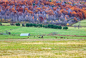 A herd of stable horses grazing on a central New York State horse farm in late October autumn.