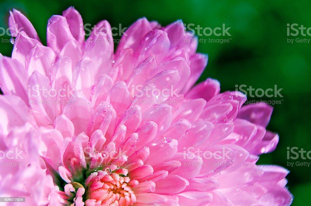 Fiori Autunnali.Autunnali Fiori Di Crisantemo Fotografie Stock E Altre Immagini
