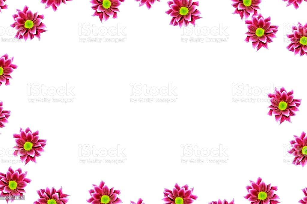 Autumn chrysanthemum flowers stock photo