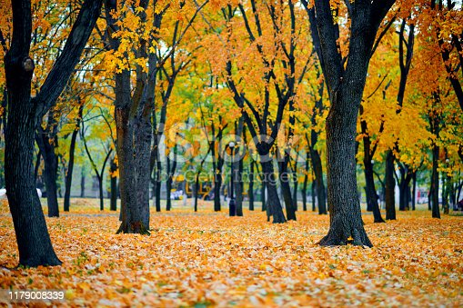 autumn city park, yellow maple leaves, trees, beautiful nature as background