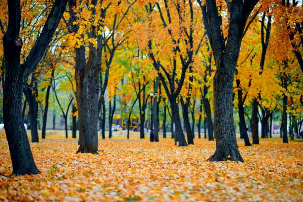 parque de la ciudad de otoño, hojas de arce amarillo, árboles, hermosa naturaleza como fondo - foto de stock