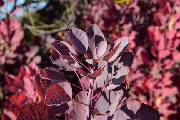 farbe herbstlaub von cotinus coggygria. - perückenstrauch stock-fotos und bilder