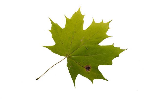 Autumn Color Maple Leaf. Isolated on White Background. stock photo