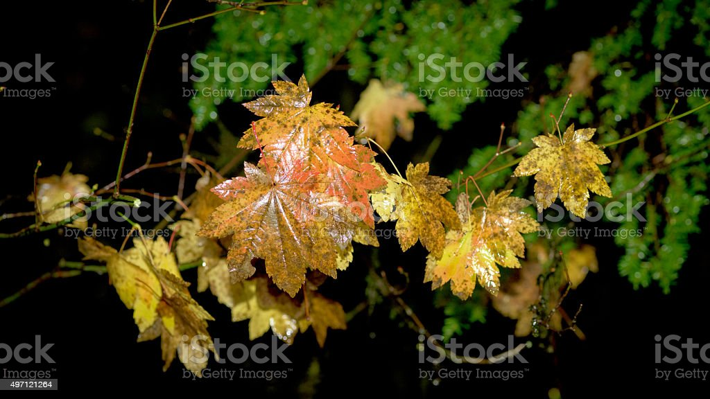 Autumn colored autumn leaves in the forest stock photo
