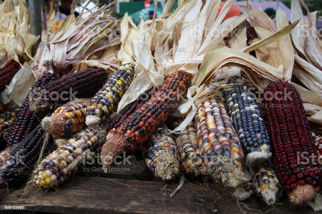 Autumn colored corn stock photo