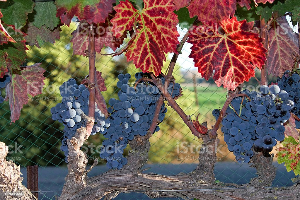 Autumn colored leaves blue wine grapes in vineyard stock photo