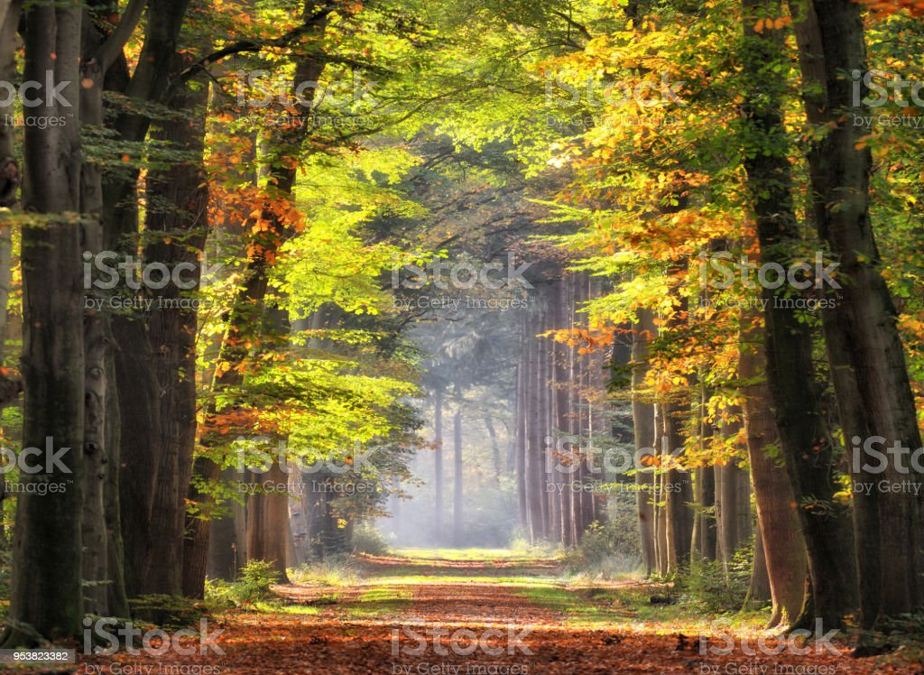 Autumn colored leaves glowing in sunlight in avenue of beech trees - Royalty-free Amarelo Foto de stock