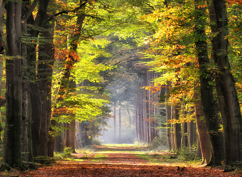 Autumn colored leaves glowing in sunlight in avenue of beech trees