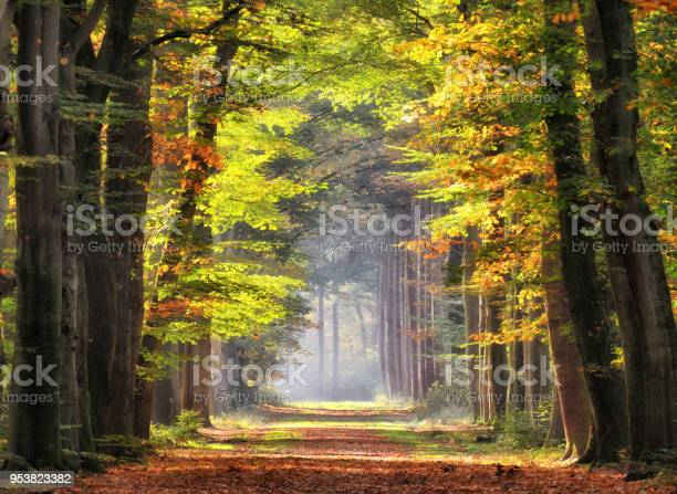 Autumn Colored Leaves Glowing In Sunlight In Avenue Of Beech Trees - Fotografias de stock e mais imagens de Amarelo