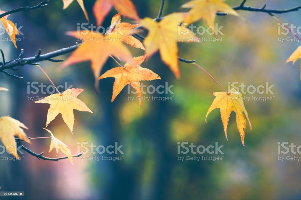 Autumn colored maple leaf background stock photo