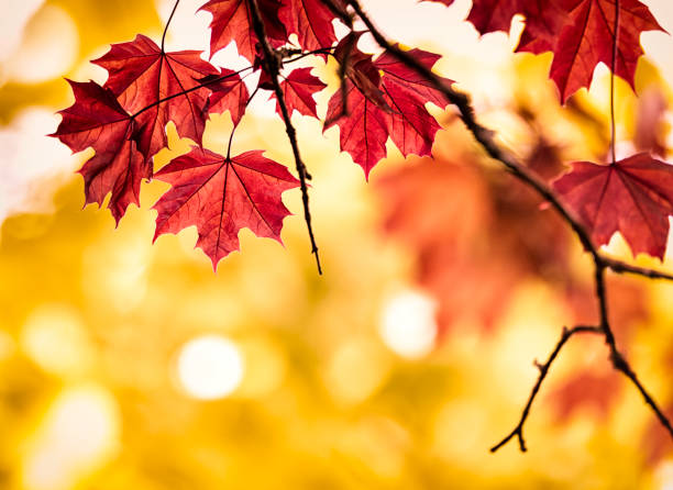 Autumn colored maple leaf Red Maple leaves.  maple leaf photos stock pictures, royalty-free photos & images
